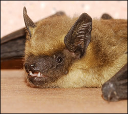 bat removal Stafford