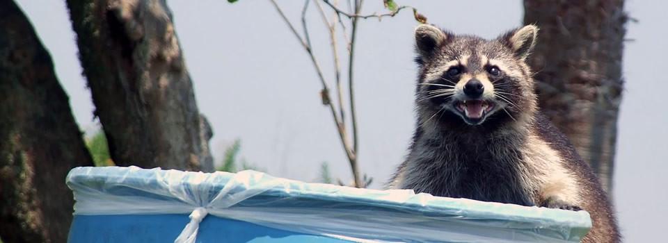 Stafford raccoon control