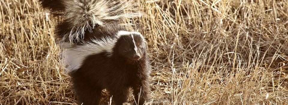 Stafford skunk control