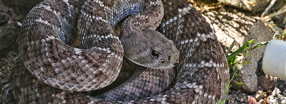 Stafford snake control