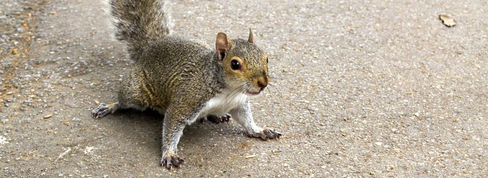 Stafford squirrel control