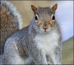squirrel removal Stafford